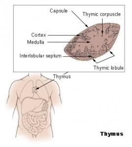 Thymus (zwezerik) bron: wikipedia